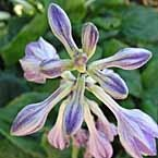 7. Hosta ´Lakeside Black Satin´
