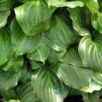 Hosta ´Lakeside Looking Glass´
