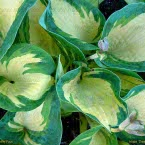 Hosta ´Great Expectations´