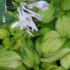 Hosta ´Stained Glass´ ®